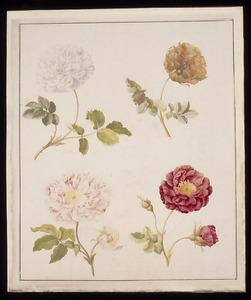 Rosa mundi, witte roos, Franse roos en Bataafse roos