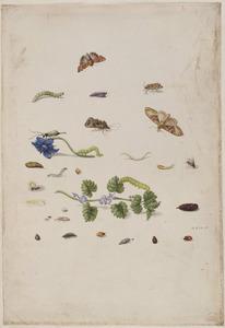 Bernagie, hondsdraf en insecten waaronder een tweestippelig lieveheersbeestje