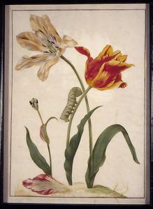 Perzische- en Spitse tulp kruising en rups van ligusterpijlstaart