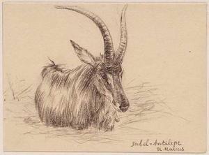 Sabelantilope