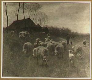 Grazende schapen in het duin