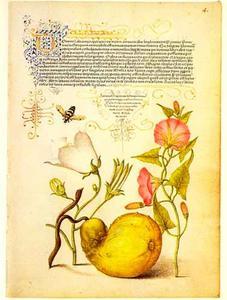 Kalebas, akkerwinde en perzikbladklokje