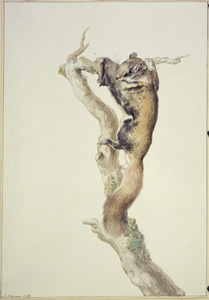 Vliegende Eekhoorn op boomstam