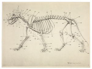 Anatomie van de leeuw: skelet