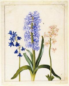 Drie hyacinten
