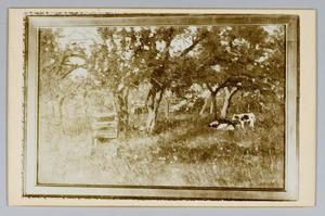 Boomgaard met koeien