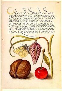 Kievitsbloem, vlinder, walnoot en kers