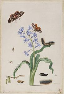 Hyacint met metamofose van de bruine beer en andere insecten
