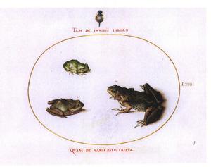Drie kikkers: twee Zuid-Europese boomkikkers en een groene kikker