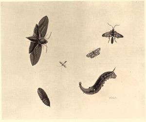 Groot avondrood, rups, pop en ander insecten