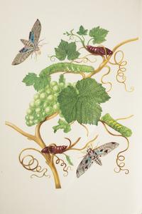 Wijnrank met groene druiven met metamorfose van de wijnpijlstaart en de satellietpijlstaart