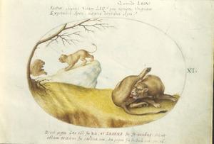 Leeuw en twee leeuwinnen