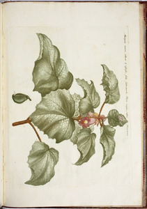 Duivelsklauw (Proboscidea jusssieui)