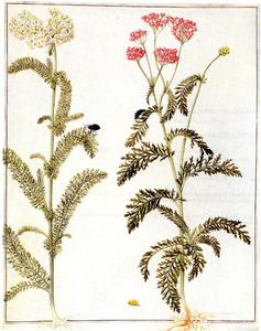 Wit en roze duizendblad (Achillea Millefolium et Achillea Tomentosa L.)
