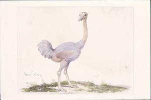 Struisvogel (vrouwtje)