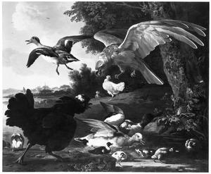 Kippen en eenden aangevallen door een roofvogel