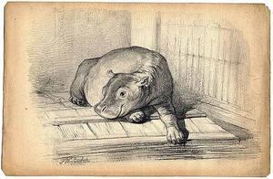 Het nijlpaardje Herman jr. liggend bij zijn bassin