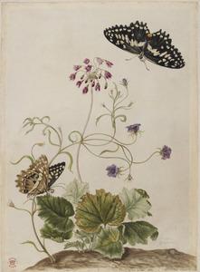 Cortusa, spiegelklokje en twee vlinders
