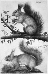 Eekhoorntjes