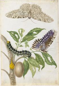 Gummi guttaeboom en twee witte heksenvlinders