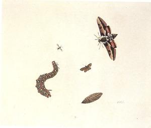 Pijlstaart, rups, andere insecten en een pop