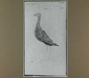 Jacana (Braziliaanse Klimvogel)