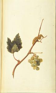 Druivenrank met tros druiven, rups en pop