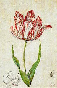 Studie van tulp 'Admirael van Delft' en een spin