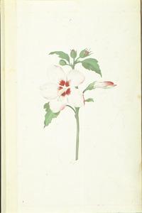 Tuinhibiscus
