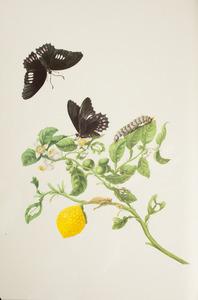 Limoen met metamorfose van de anchises paridesvlinder