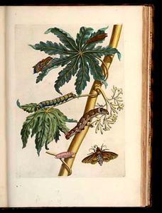 Papaia met bloemen, ello- en gestippelde pijlstaart