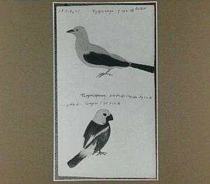 Tyepiranga (Ramphocoelus brasilius) en Tangara (Braziliaanse vogels)
