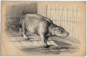 Het nijlpaardje Herman jr. begeeft zich te water