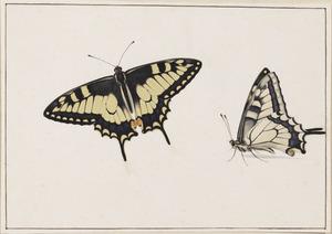 Twee page-vlinders, vleugels geopend en gesloten  (Papilionidae)