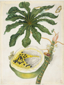 Papaja met metamorfose van de papajavlinder