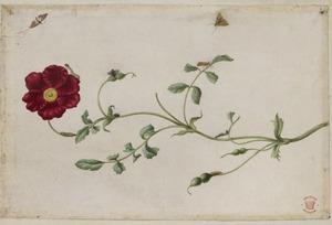 Toscaanse roos met metamorfosen