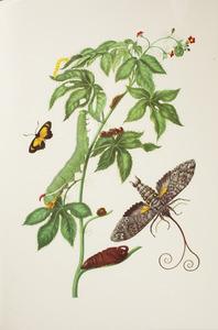 Buikpijnplant met metamorfose van de reuzenpijlstaart