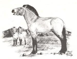 Het Przewalski paard