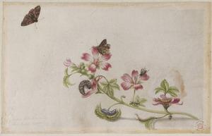 Groot kaasjeskruid met metamorfose van vlinder