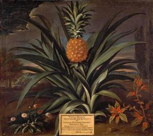 Ananasplant in de tuin van Sir Mattew Decker te Richmond, Surrey