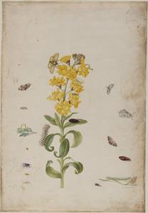 Muurbloem met vlieg en metamorfoses van vlinders