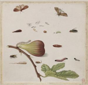 Vijg, halvemaansvlieg en metamorfose van vlinder