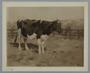 Koe in een wei