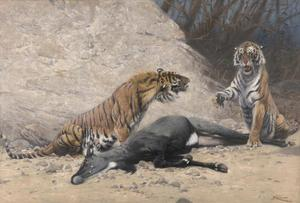 Koningstijgers met geslagen Nijlgau-antilope