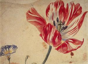 Tulp en dagschone