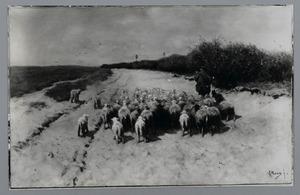 Gaande schapen op een zandweg