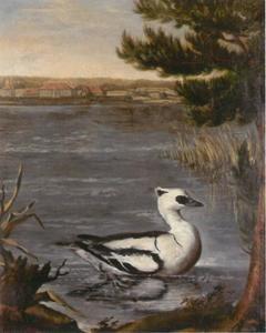 Nonnetje (Mergullus albellus), in de achtergrond Slot Caputh