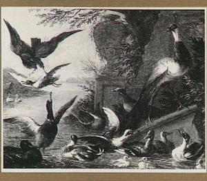Roofvogel valt eenden in het water aan; aan de kant twee pauwen
