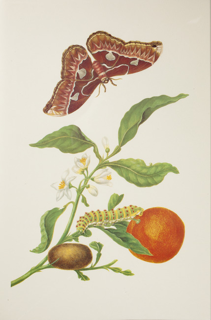 "<a class=""recordlink artists"" href=""/explore/artists/55357"" title=""Maria Sibylla Merian""><span class=""text"">Maria Sibylla Merian</span></a>"